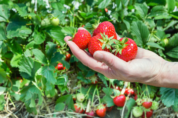 single hand holding ripe strawberries with plants in the backgro