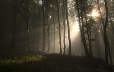 Sun rays in misty forest. Sun shining through trees in dark fantasy woods on summer morning