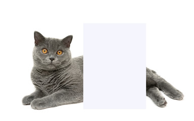 cat lies behind a banner on a white background