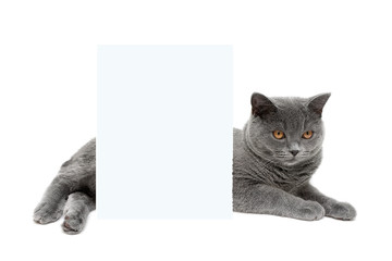 gray cat lies behind a banner on a white background
