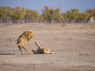 Male and female lion in a rough and action filled play, Etosha National Park, Namibia, Africa