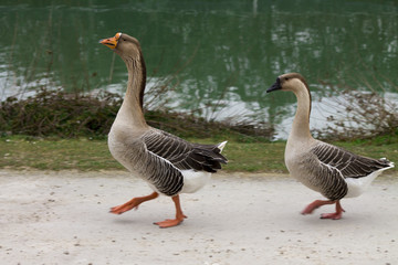 a pair of geese at the lake is
