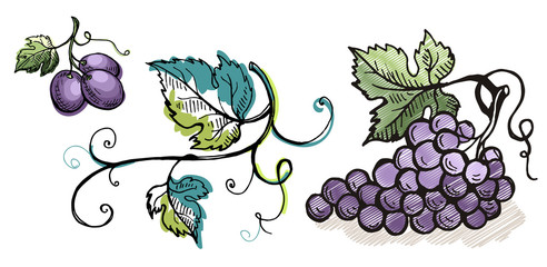 Watercolor ripe grape with leaves isolated on white in graphic style hand-drawn vector illustration.