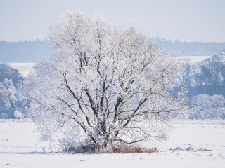 Single tree covered in frost and snow