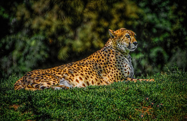 Cheetah Chillin'