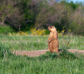 A groundhog in a field