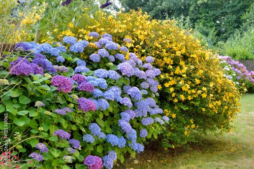 Joli massif d\'hortensias dans un jardin en Bretagne\