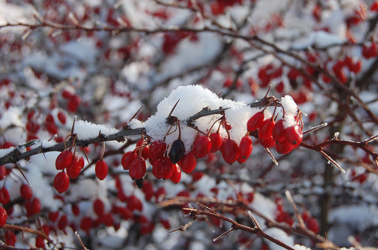 spreading cotoneaster with snow