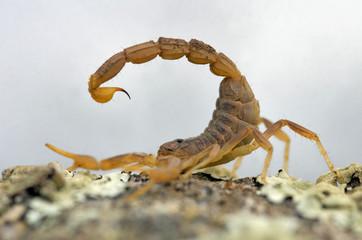 Alacran amarillo, escorpión (Buthus occitanus)
