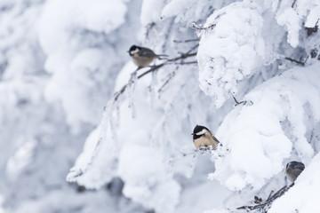 Coal tit (Parus ater) in a snowy winter landscape