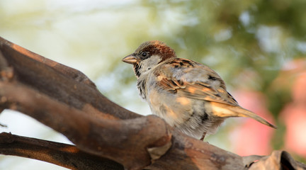 House sparrow (Passer domesticus) on betel palm, Bird of Thailand
