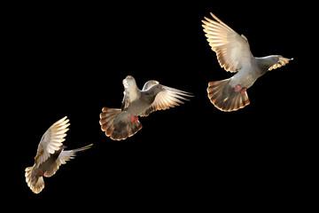 flying pigeon bird