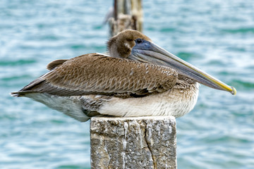 Female pelican resting on the pylon inbetween storms