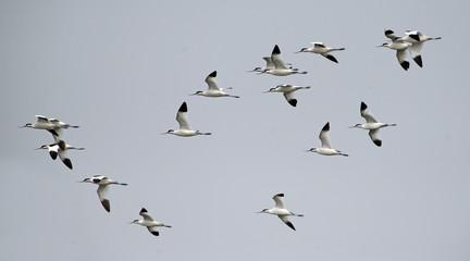 Bird, Bird of Thailand, Migration birds Pied Avocet on blue sky