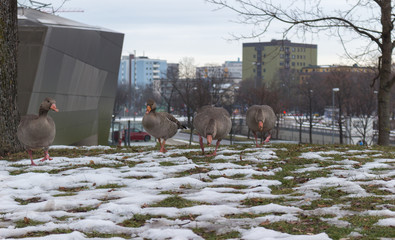 Geese on grass in winter in center of the city. Munich, Germany.
