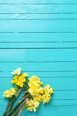Bright yellow narcissus or daffodil flowers on aquamarine  woode