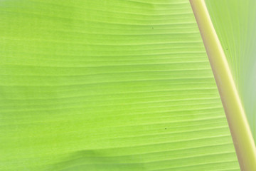 Abstract texture background fresh banana leaf.