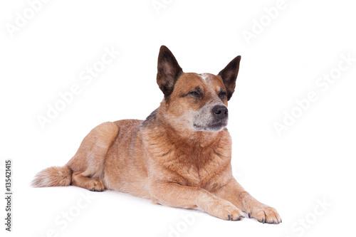 """""""liegender hund guckt schläfrig"""" stockfotos und"""