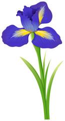 Blue iris flower on white background