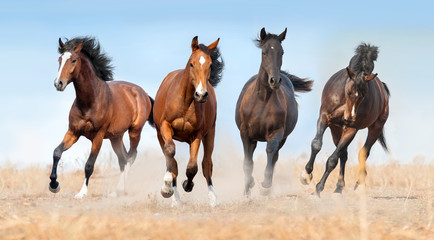 Horse herd run gallop with dust