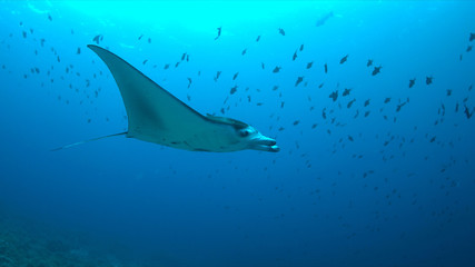 Manta ray swims on a coral reef.