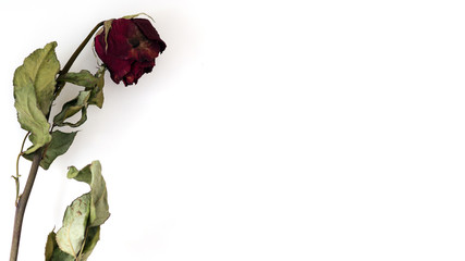 A dry red rose with white background