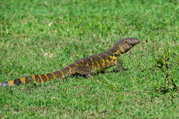 Nile monitor or Varanus niloticus