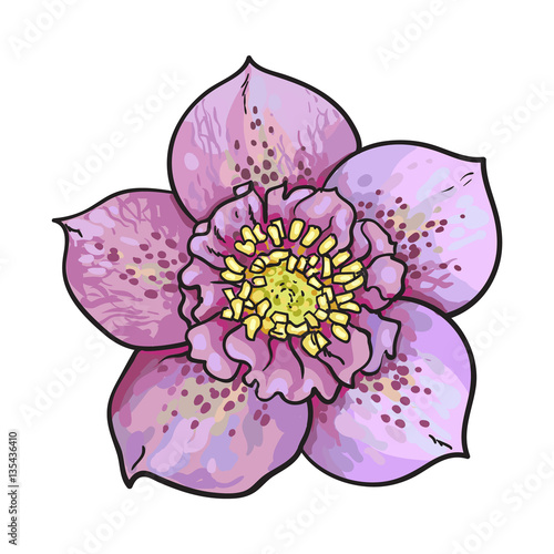 Hellebore Christmas Rose Single Purple Flower Top View Sketch Style Vector Illustration Isolated