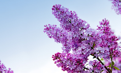 Lilac flowers isolated on blue.