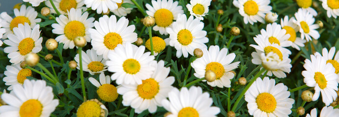 Bunch of flowering white daisies.