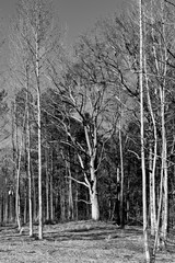 Barren trees in the forest at winter season
