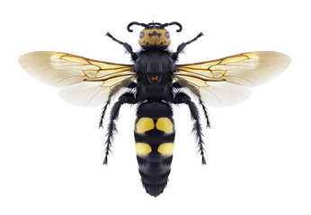 Wasp Megascolia maculata flavifrons on a white background