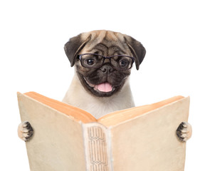 Pug puppy holding open book. isolated on white background