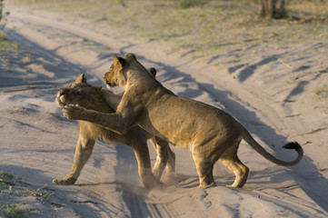 Two lionesses (Panthera leo) playing, Savuti marsh, Chobe National Park, Botswana, Africa