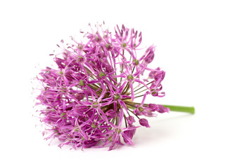ornamental garlic on a white background