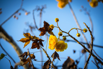 yellow cotton tree