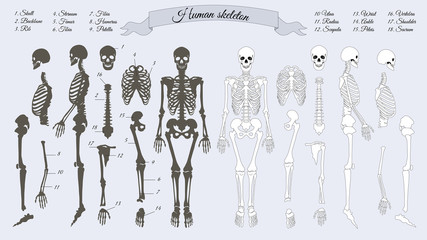 Human Skeleton. White and Black. Names of Bones