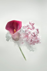 purple calla in a pink ink cloud