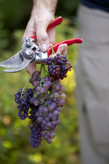 Hand holding fresh cut grapes