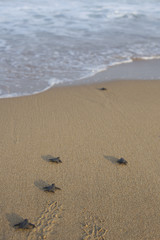 Baby turtles on beach
