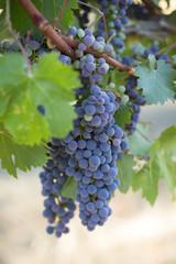 Cluster of grapes growing in vineyard