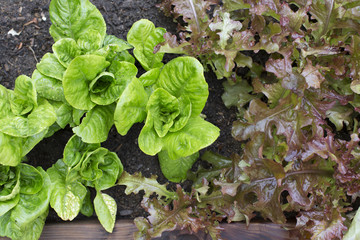 Lettuce  greens growing in garden