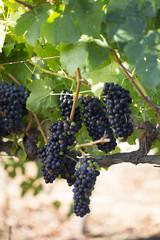 Close up of wine grape clusters growing in vineyard