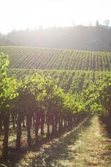 Vineyard at sunrise in California wine country