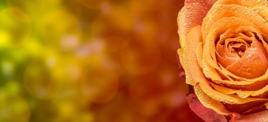 Rose Hintergrund Bokeh mit Tautropfen