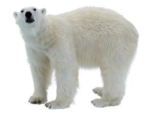 Polar bear isolated