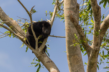 Foto auf Acrylglas Affe Howler Monkey sitting in a tree along the old Belize river