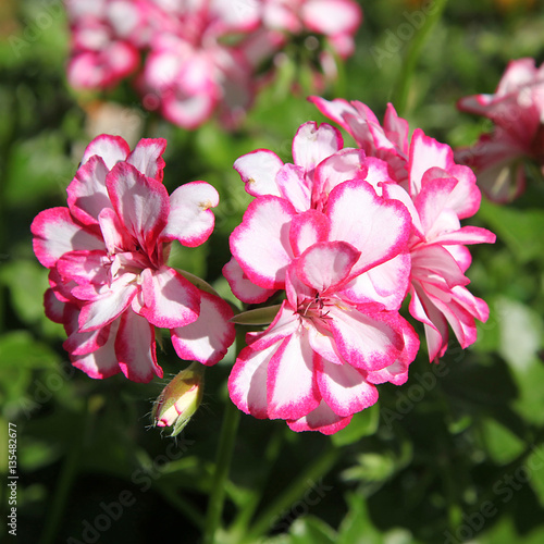 G ranium lierre double photo libre de droits sur la - Geranium lierre double ...