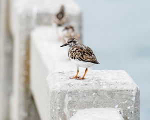 One shorebirds stopped walking on the guardrail