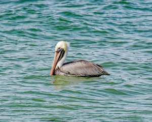 Male pelican floating in the Gulf of Mexico